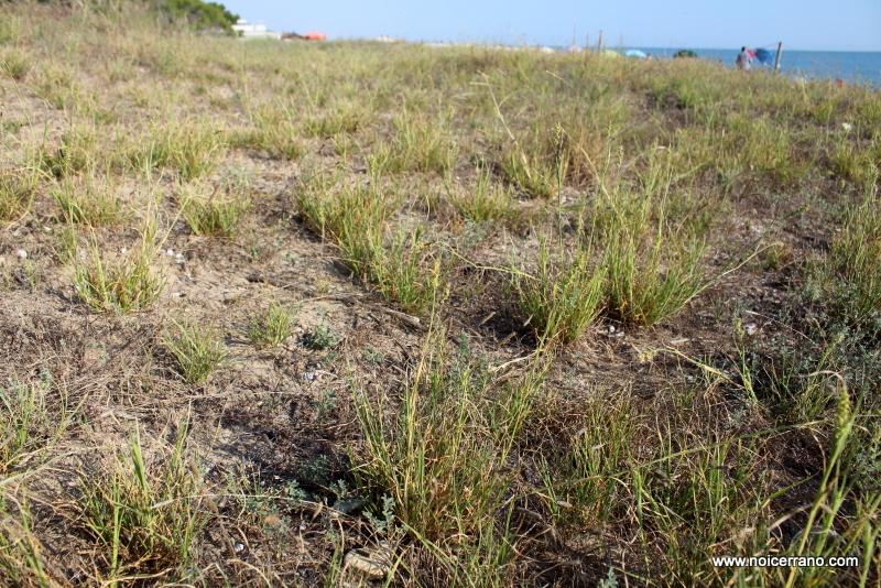 Cenchrus spinifex sulle dune di Pineto