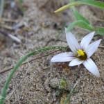 4. Romulea rollii [Foto di F. Verrocchio]