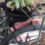 Germogli apicali dei pini