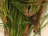 Germogli apicali dei pini, dettagli